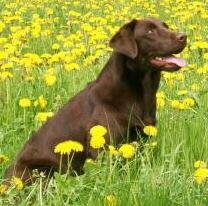 Labrador Retriever, Foto von Pixelquelle