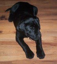 Labrador Welpe 1